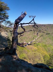 A tree that grew on a cliff